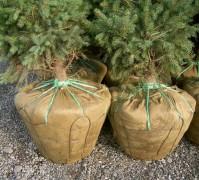 Rośliny balotowane. Fot. nesbittsnursery.com