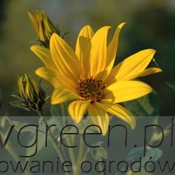 topinambur, newgreen.pl