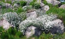 alpinarium, rośliny posadzone w sporych odstępach
