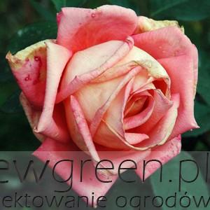Róża wielkokwiatowa, newgreen.pl