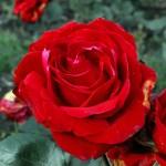 róża, newgreen.pl