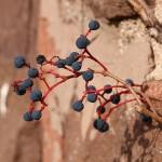 Rośliny o dekoracyjnych owocach