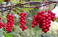 Cytryniec chiński (Schisandra chinensis), newgreen.pl