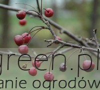 Jabłoń jagodowa (Malus baccata), newgreen.pl