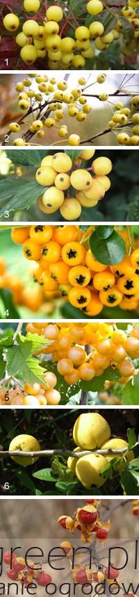rośliny o żółtych owocach, newgreen.pl