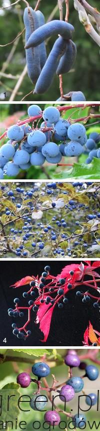 Rośliny o niebieskich owocach, newgreen.pl