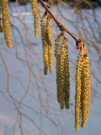 leszczyna pospolita (Corylus avellana)