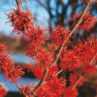 Drzewa i krzewy ozdobne kwitnące zimą, newgreen.pl