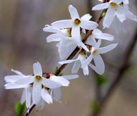 Abeliofylum koreańskie (Abeliophyllum distichum), newgreen.pl
