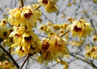Zimokwiat wczesny (Chimonanthus praecox)