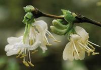Suchodrzew Purpusa  (Lonicera x purpusii), newgreen.pl