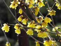 Zimokwiat wczesny (Chimonanthus praecox) , newgreen.pl