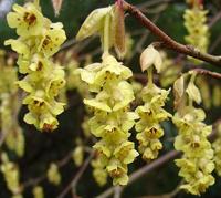 Leszczynowiec (Corylopsis), newgreen.pl