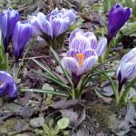 kwitnące wielobarwne krokusy