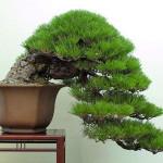 Bonsai w formie kaskadowej