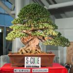 Bonsai warte milion dolarów na wystawie w japonii