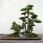 Kompozycja kilku drzewek bonsai z jałowca