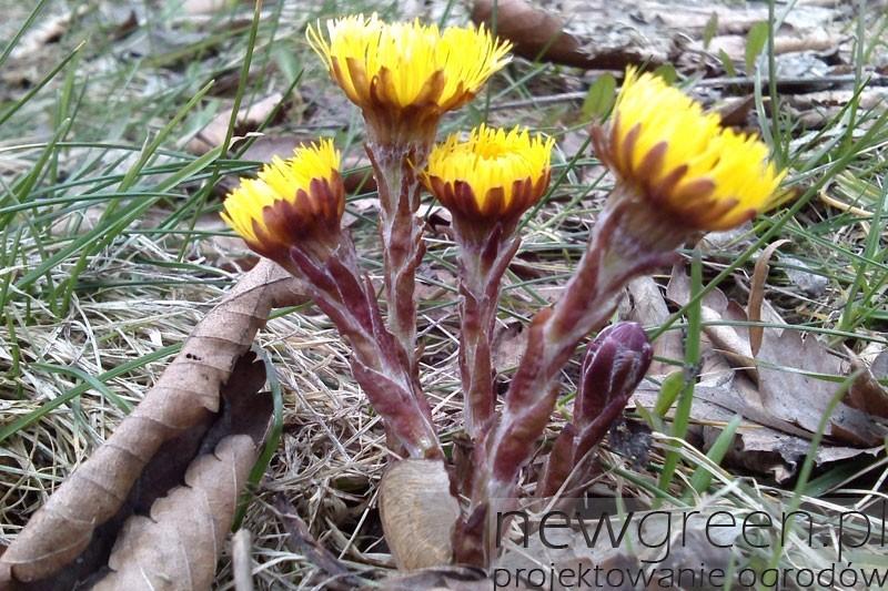 kwiaty-podbialu-w-ogrodzie