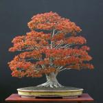 Drzewko bonsai z klonu o pięknych czerwonych liściach