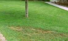 plamy golej ziemi na trawniku