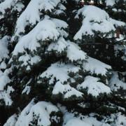 Czapy śniegu na drzewku ogrodowym
