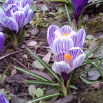wiosna-w-ogrodzie-krokusy-w-paski