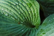 Funkia Siebolda (Hosta sieboldiana), newgreen