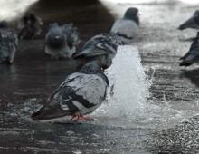 Gołąb przy fontannie