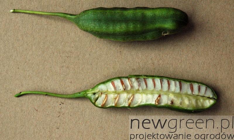 Kokornak wielkolistny (Aristolochia macrophylla) - owoce, newgreen.pl