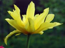 Tulipan, newgreen.pl