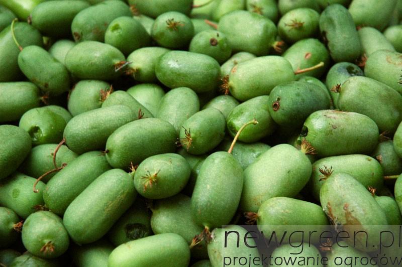 Actinidia-arguta-`Issai`-owoce