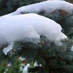 okiść śniegowa na świerku, newgreen.pl
