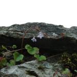 cymbalaria bluszczykowata na suchym murku, newgreen.pl