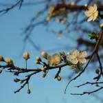 Śliwa wiśniowa, ałycza (Prunus cerasifera), newgreen.pl