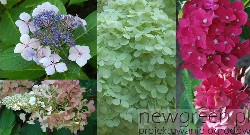 Hortensje-(Hydrangea), newgreen