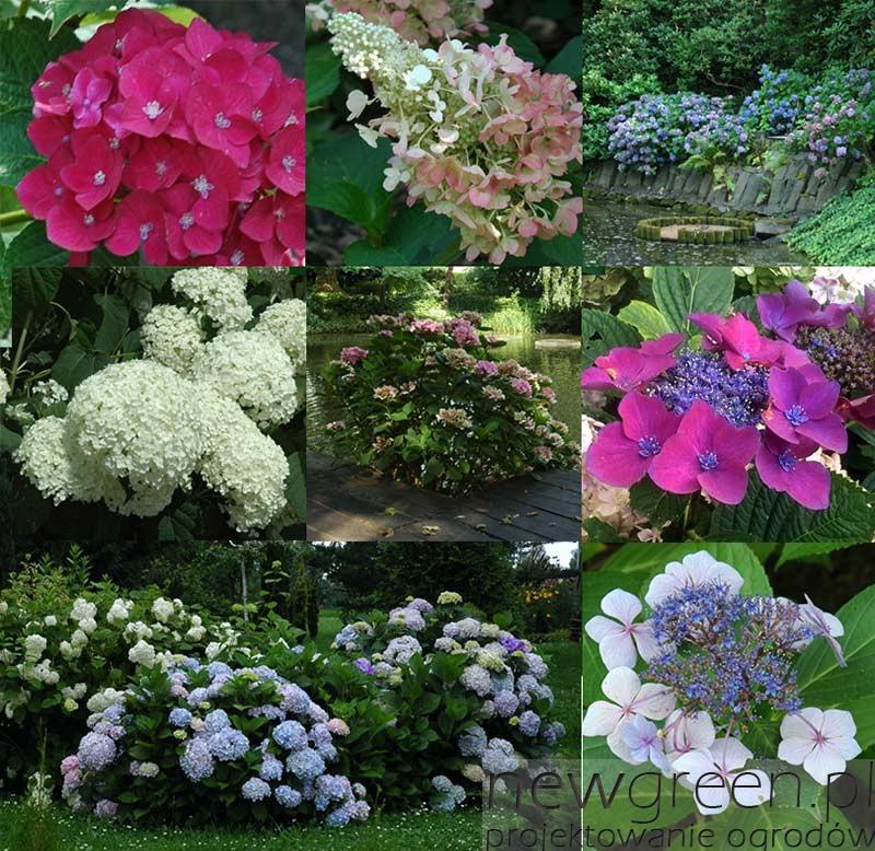 Hortensje-w-ogrodzie-botanicznym-we-Wrocławiu-newgreen