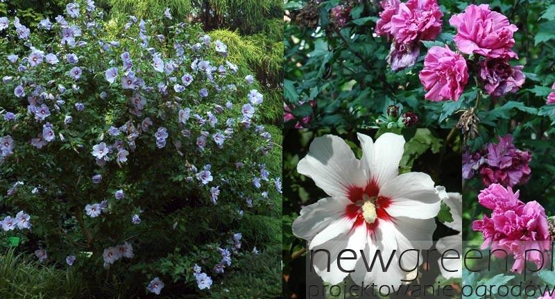 Ketmia-syryjska-(Hibiscus-syriacus), newgreen