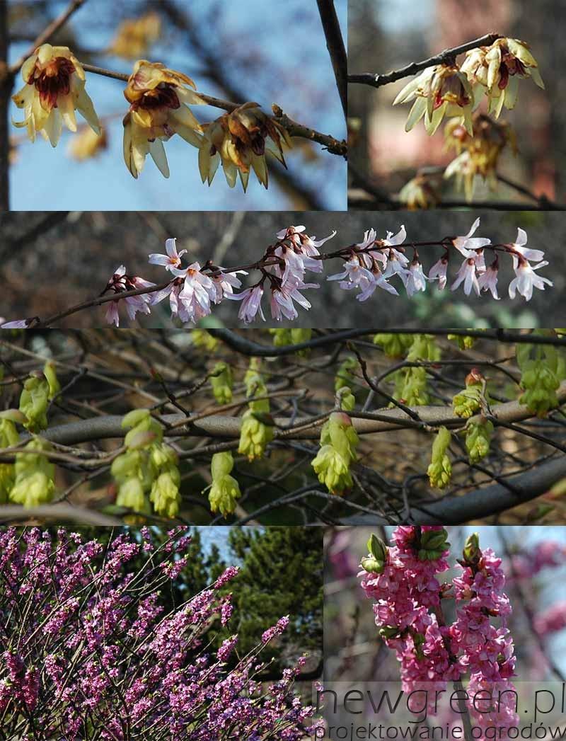 krzewy-kwitnace-wczesna-wiosna, newgreen.pl