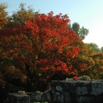 Klon-palmowy-(Acer-palmatum)-jesienia