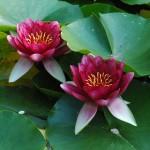 sadzenie-roslin-wodnych